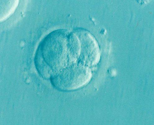 frozen embryos